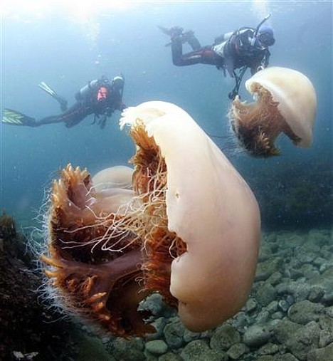Giant-Jellyfish-in-Japan