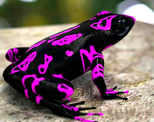 harlequin-toad-pink